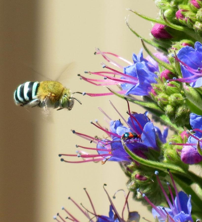 Wildlife Native Bee