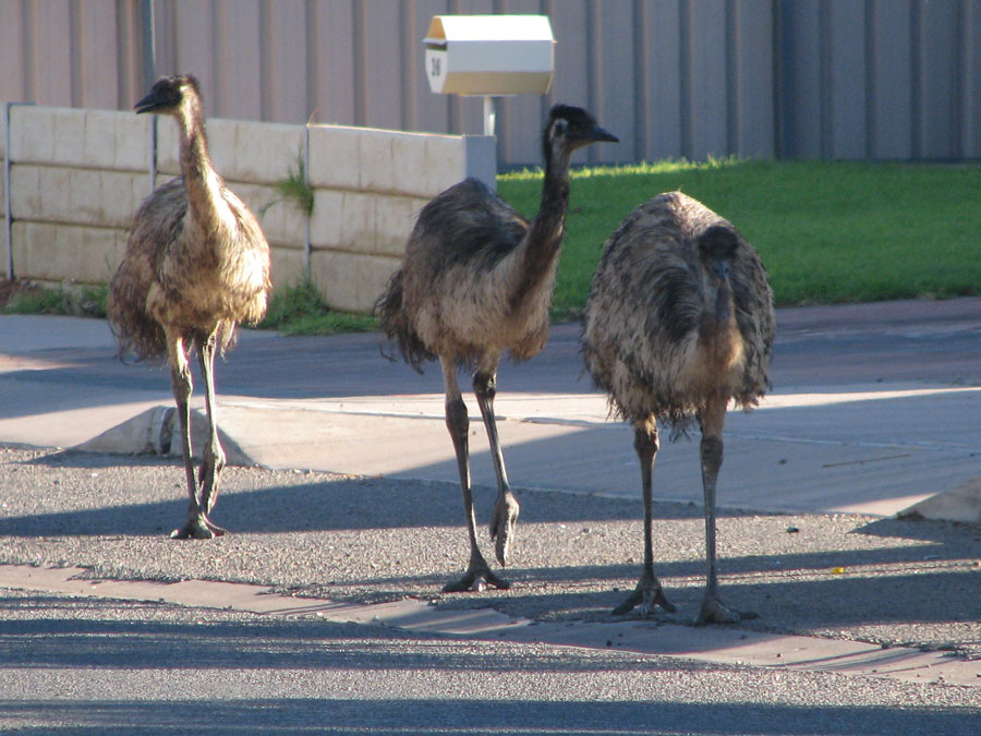 Wildlife Emus in Roxby Downs by Michelle Hales