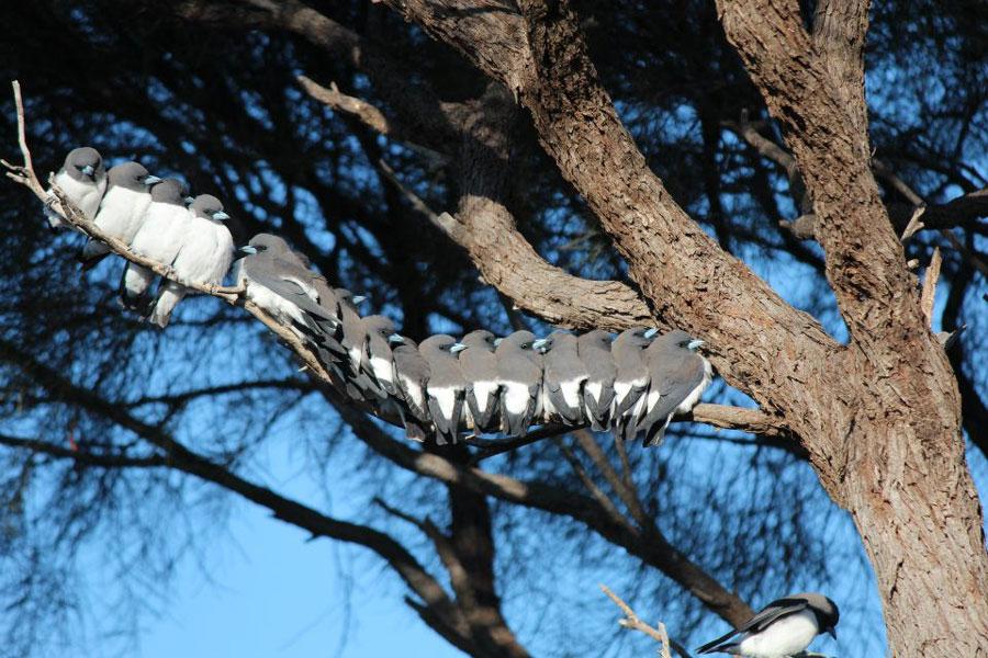 Wildlife White Breasted Swallows