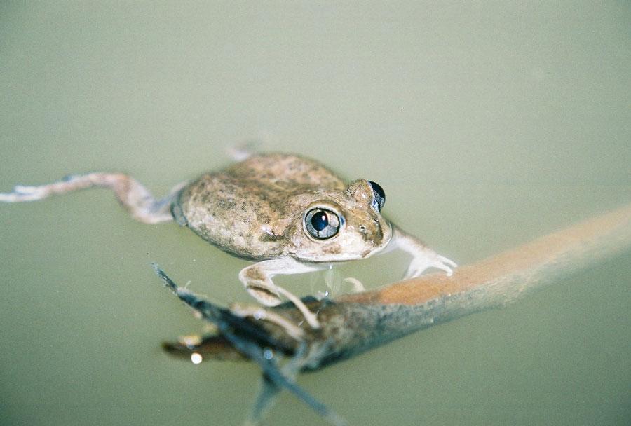 Wildlife Burrowing Frog Emerging