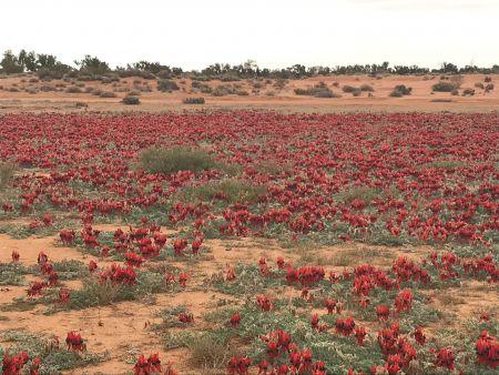 Sturts Desert Peas Aug20
