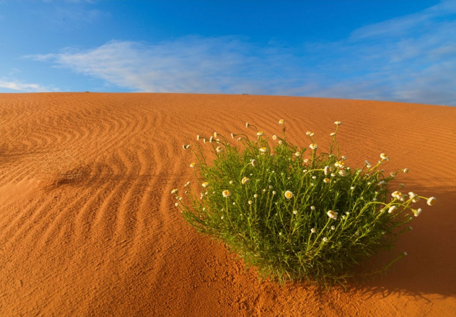 Scenery Sand Dune with Poached Egg Flower